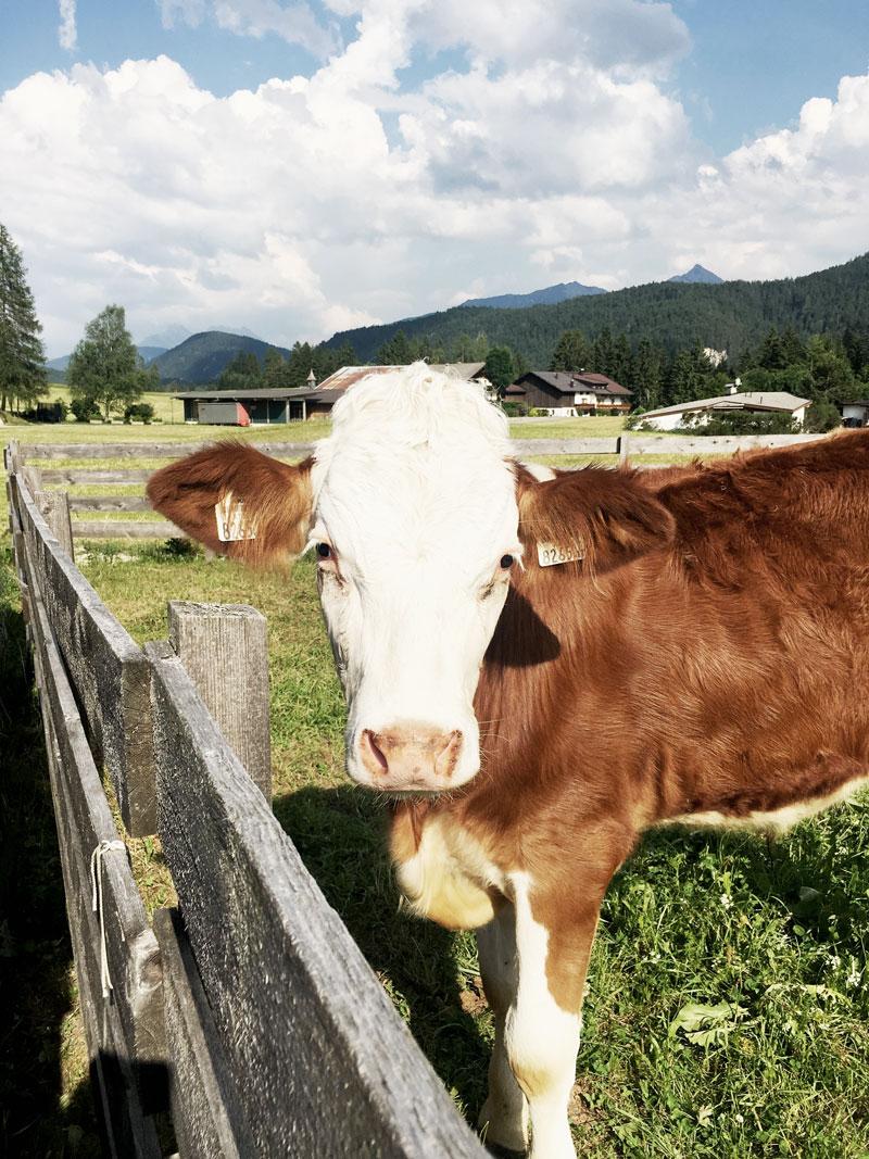 Kuh-Naturtage-Seefeld-Tirol