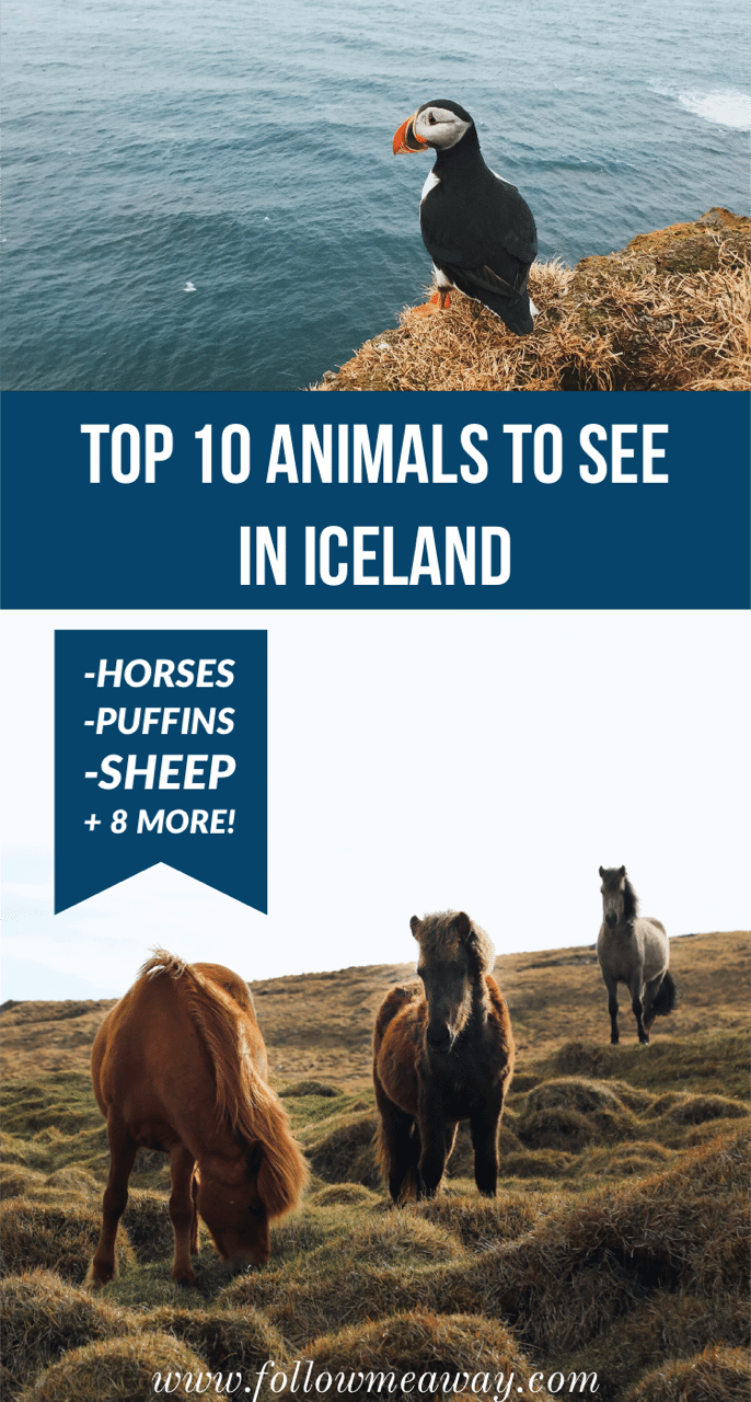 Top 10 Animals In Iceland You May See During Your Trip | Puffins in iceland | what animals to see in iceland | what to see in iceland | what to do in Iceland | iceland travel tips #puffins #horses #iceland #icelandtravel #icelandichorse #horses #sheep #icelandtravel