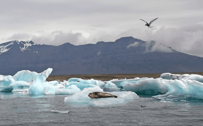 seals in iceland | animals in iceland