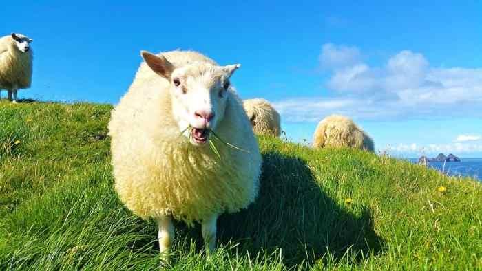 sheep in iceland | icelandic sheep