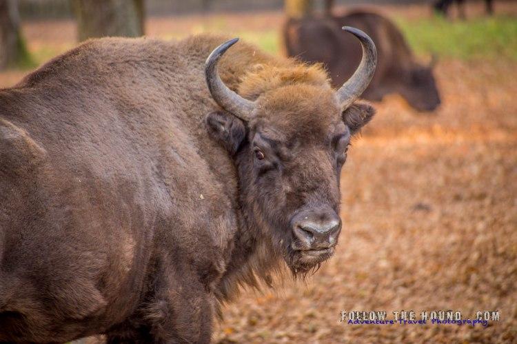 Wild Male Bison