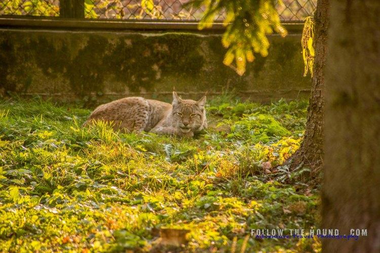 Lynx Poland Białowieża