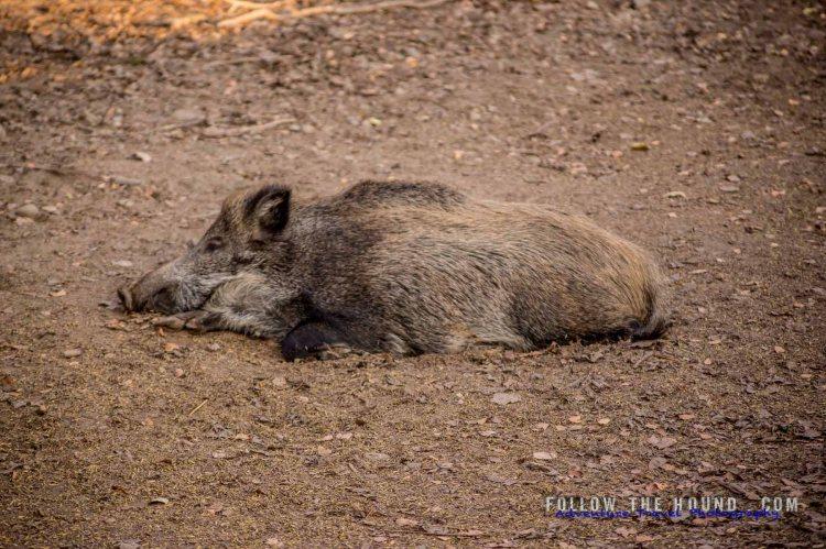 Wild boar resting