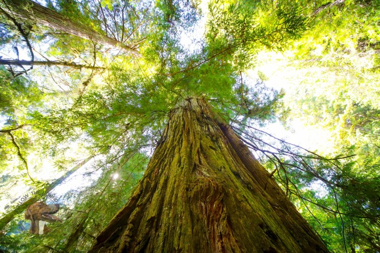 Giant Red Woods in Northern California