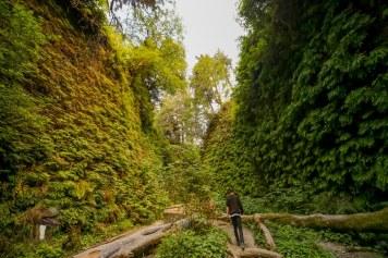 Giant ferns in Fern Canyon, Prairie Creek Redwoods, California