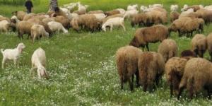 Giuseppe Palmieri sull'agricoltura e la pastorizia del Tavoliere del Settecento