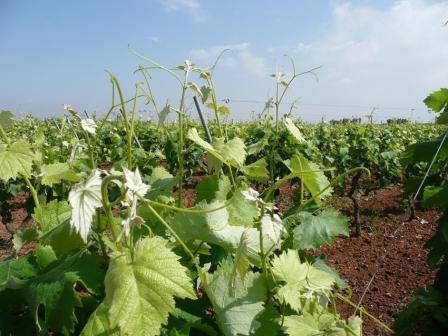 Il mirto tarantino, dai giardini di Venere alle coste del salento: viaggio alla scoperta di una tipica pianta della macchia mediterranea (seconda parte)