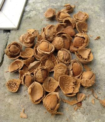 le ormai rarissime mandorle agatucce raccolte nelle campagne di Nardò