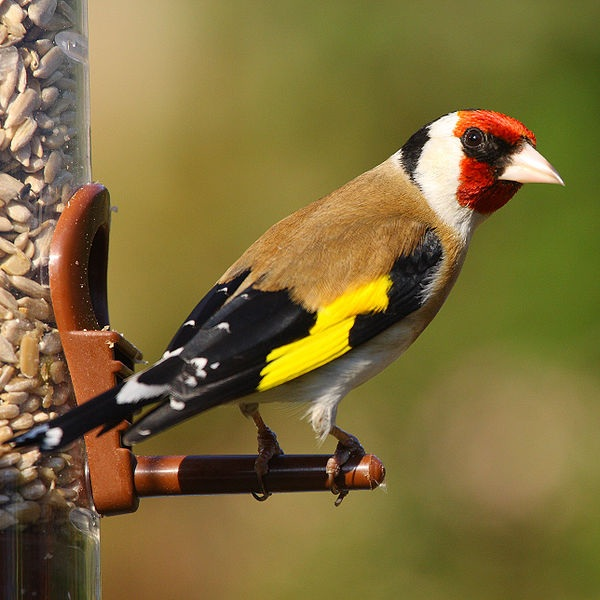 immagine tratta da https://it.wikipedia.org/wiki/File:Gold_Finch.jpg