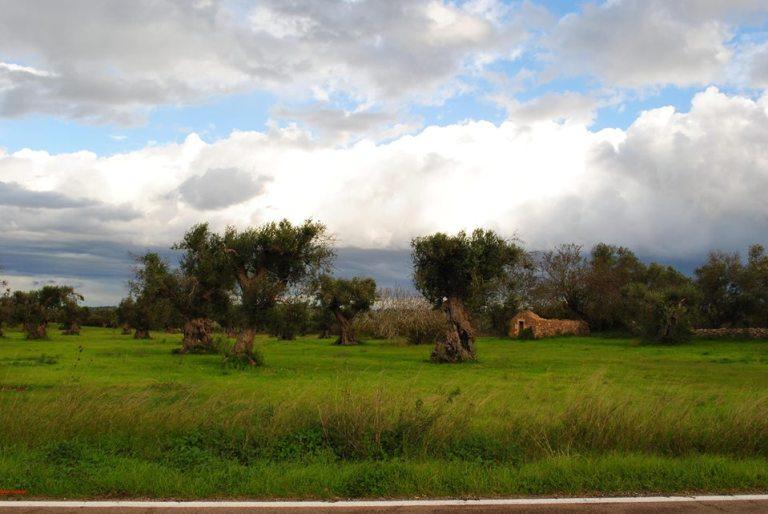 23 nov 2013, Salento, olivi disseccati in rivegetazione, contro le menzogne,4