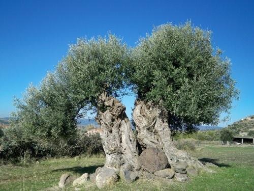 Immagine tratta da http://www.barinedita.it/inchieste/n513-ulivi-secolari-a-rischio--la-regione-vuole-modificare-la-legge-che-li-tutela