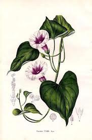 fiori e foglie della batata