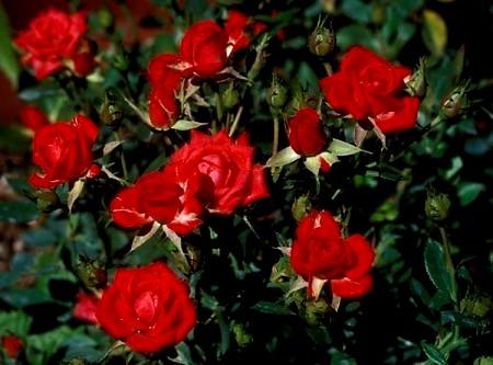 rose-rosse,