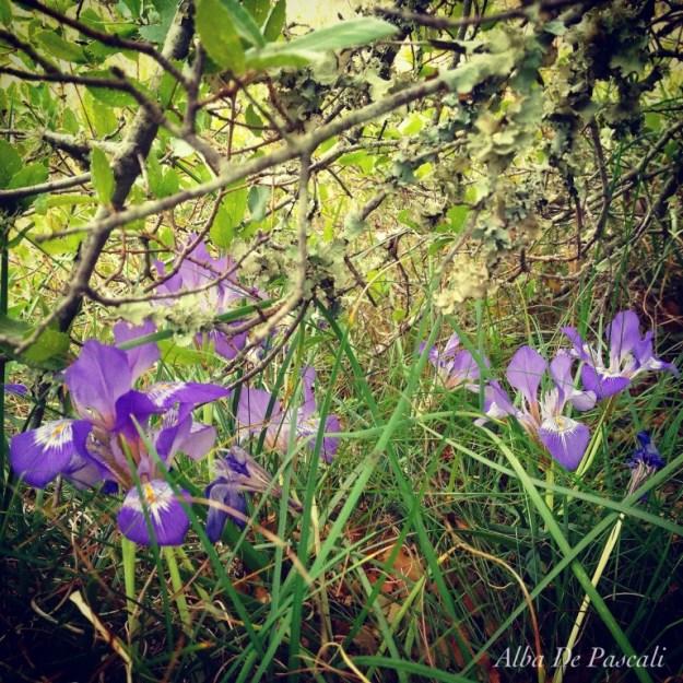 Iris unguicularis subsp. cretensis.