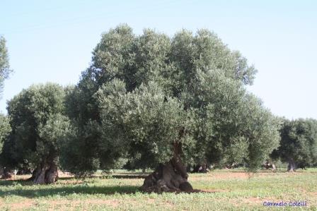 Coltivazione di ulivi tra Andalusia e Terra d'Otranto in un importante studio accademico