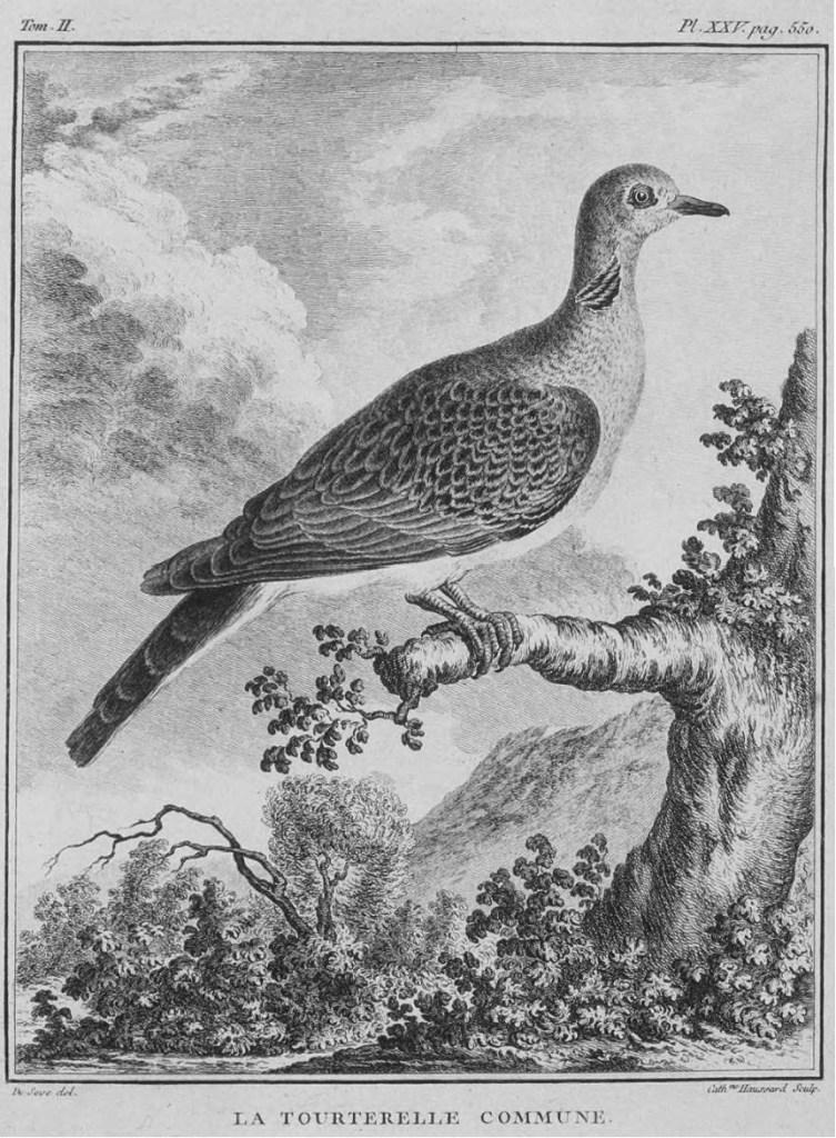 Tavola tratta da Historia naturelle des oiseaux, Imprimerie royale, Paris, 1770-1783