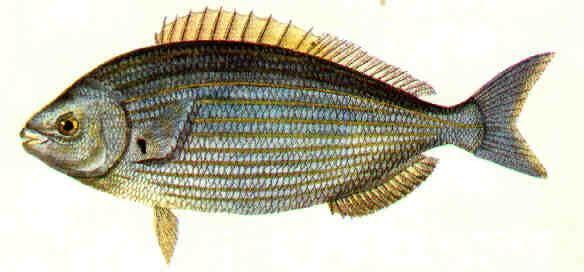 Tra i pesci del Salento: la salpa (seconda parte)