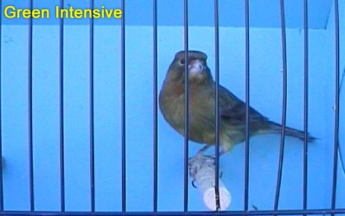 Green Intensive Canary