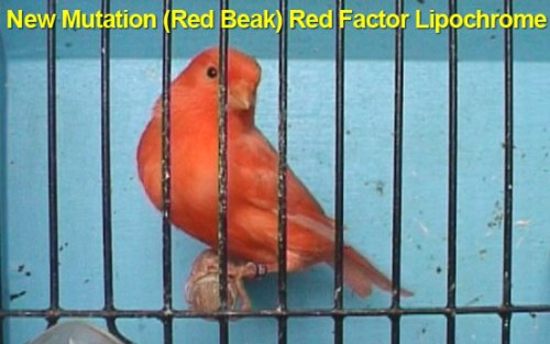New Mutation Red Beak Red Factor Lipochrome
