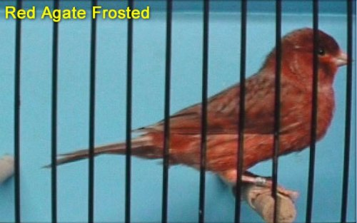 Red Agate Frost Canary
