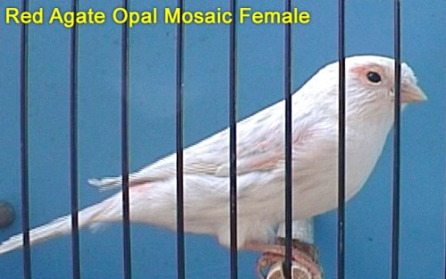 Red Agate Opal Mosaic Female Canary