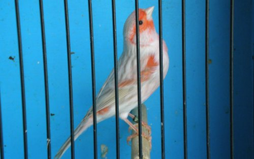 Red Agate Opal Mosaic Male Canary
