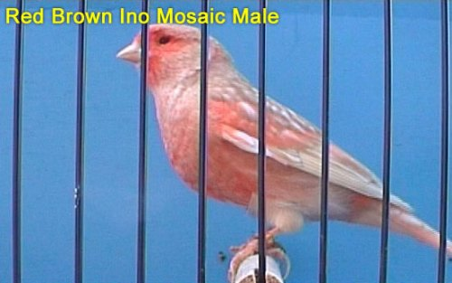 Red Brown Ino Mosaic Male Canary