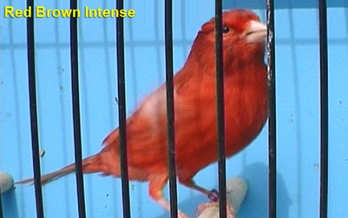 Red Brown Intense Canary