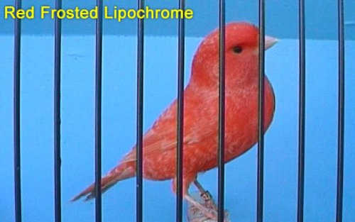 Red Frosted Lipochrome Canary
