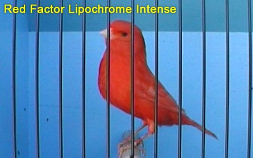 Red Lipochrome Intense Canary