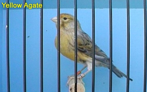 Yellow Agate Canary