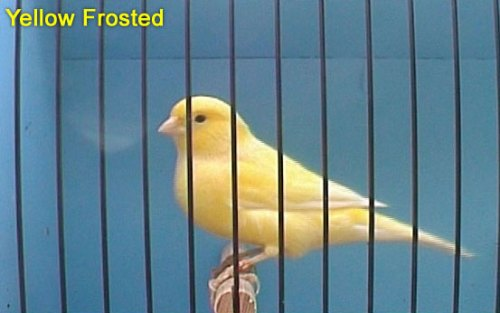 Yellow Frosted Canary
