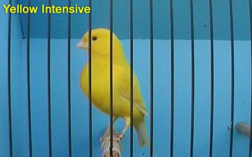 Yellow Intensive Canary