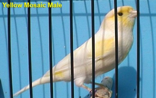 Yellow Mosaic Male Canary