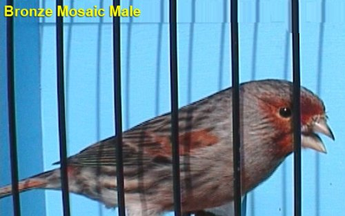 Bronze Mosaic Male Canary