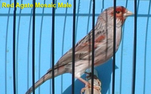 Red Agate Mosaic Male Canary
