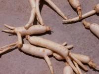 Удивительные свойства корня женьшень