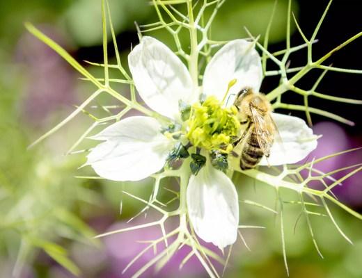 Bienen und andere bestäubende Insekten sind für etwa 1/3 unserer Lebensmittel unverzichtbar