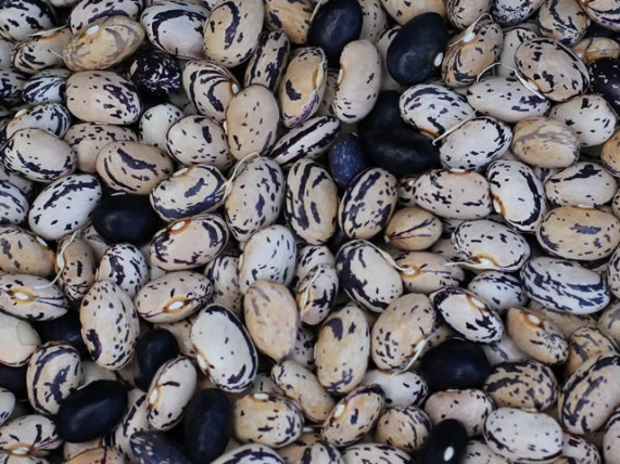 fagiolo cannellino nero di sarconi igp fagiolo nero certificazione igp azienda agricola belisario basilicata lucania