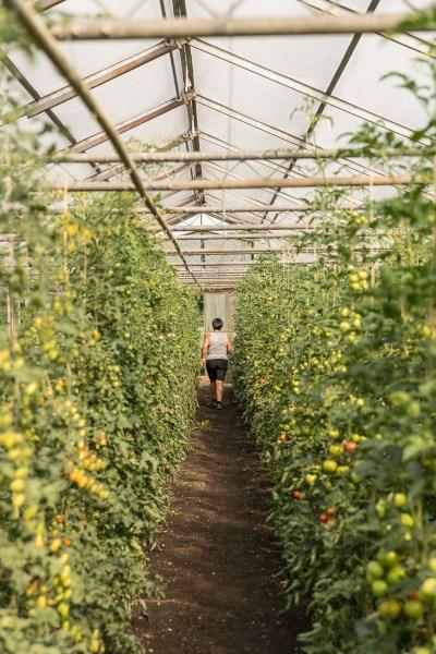 Martina Urban zwischen den Tomatenpflanzen