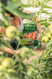Martina Urban erntet Tomaten