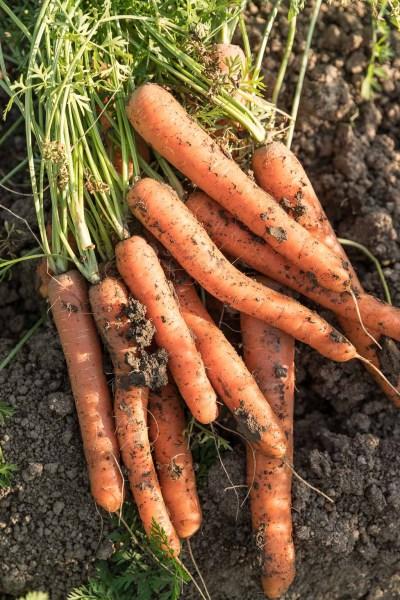 Frisch geerntete Karotten mit Grün