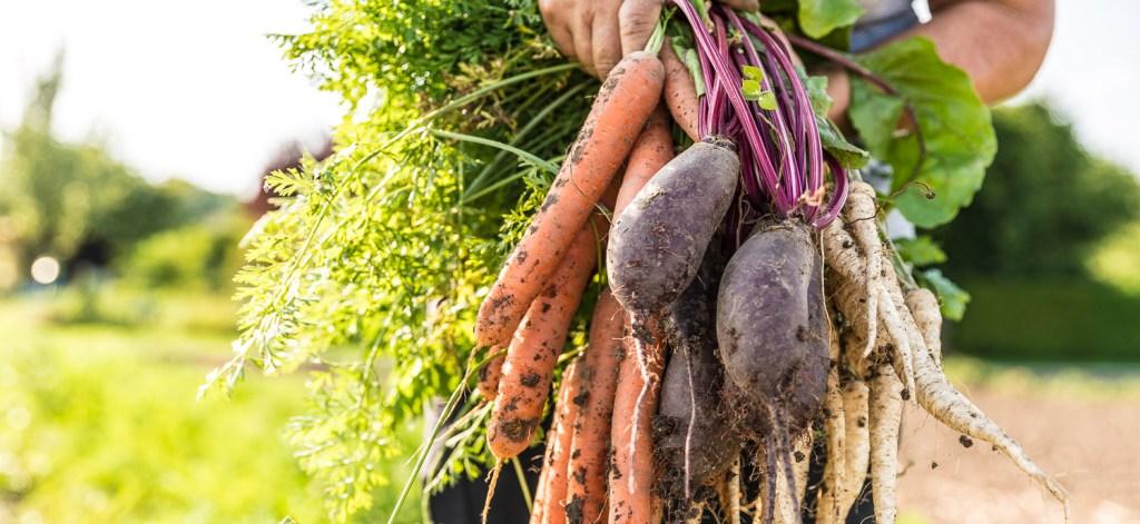 Frisch geerntet vom Feld - Karotten, Petersilienwurzel, rote Beete