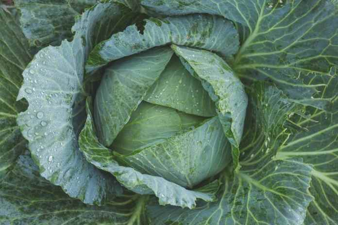 Romanian Vegan Stewed Cabbage