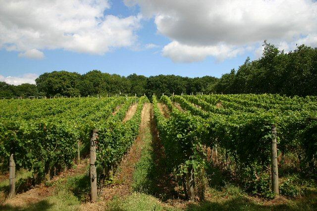 Vineyard at Wyken Hall geograph.org .uk 216836
