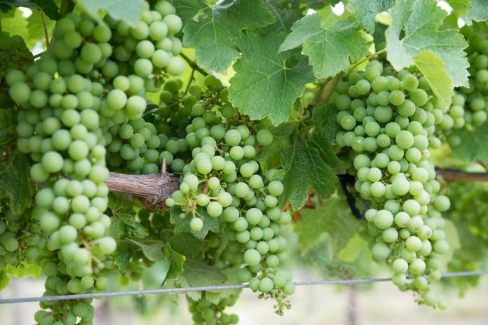 grapes 2220615 1920