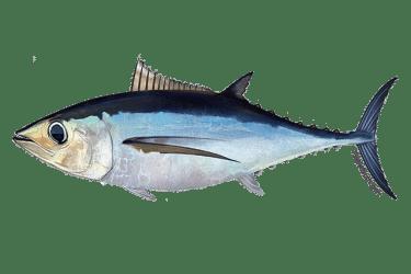 640x427 north atlantic albacore tuna