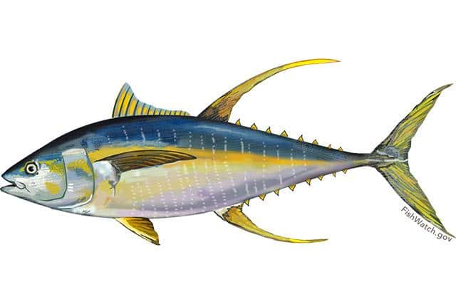 640x427 pacific yellowfin tuna