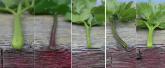 celery comparison