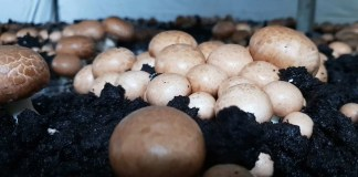 The very dark top layer of peat moss is crucial for mushroom growth and imported from Ireland